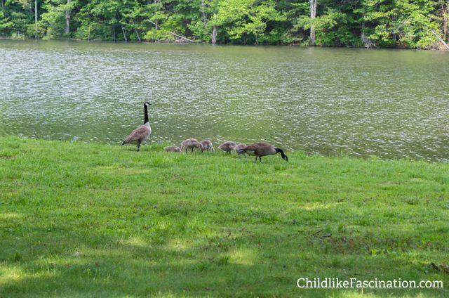 Geese are a bit of a nuisance but the lil babies are so cute!