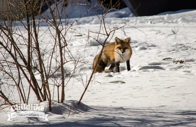 Mr Fox in the neighbor's yard
