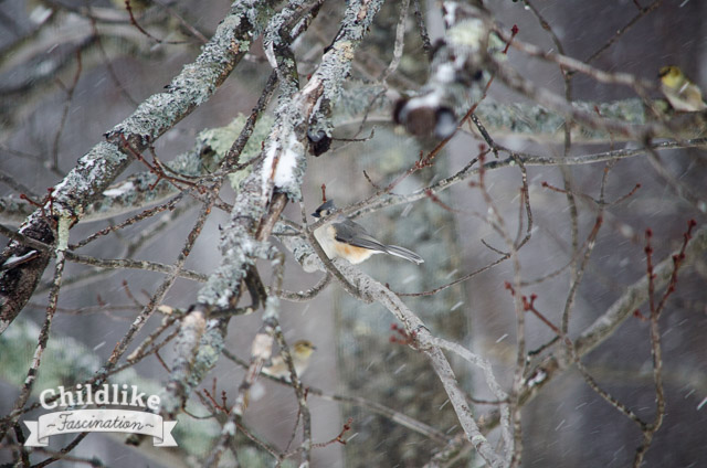Tufted titmouse in the tree