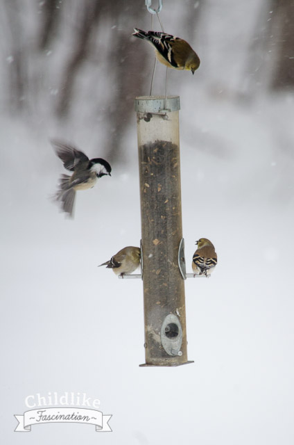 Chickadee trying to get some foods
