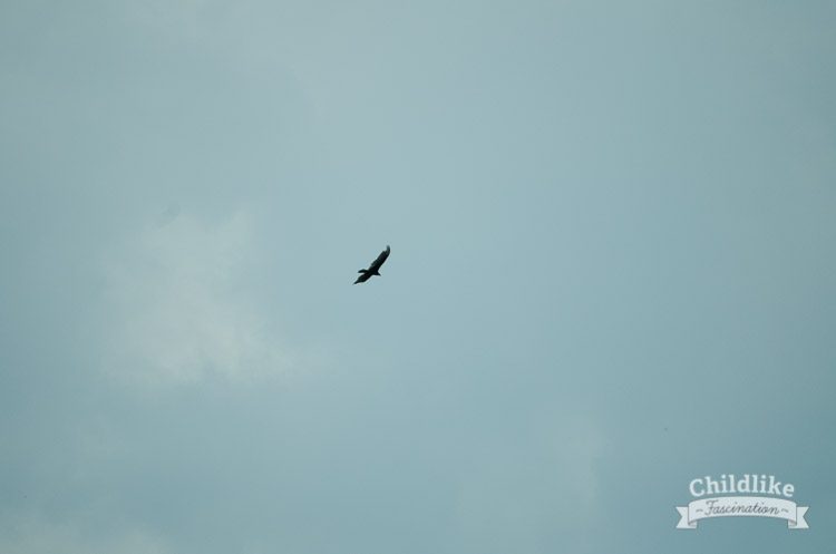 A Vulture Flying in the Sky