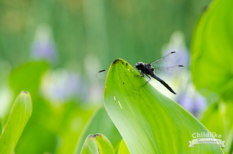Large dragonfly on a leaf